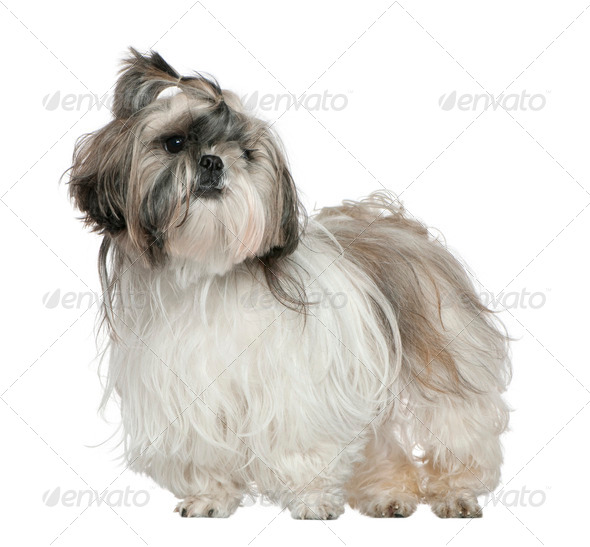 Shih Tzu, 4 years old, standing in front of white background - Stock Photo - Images