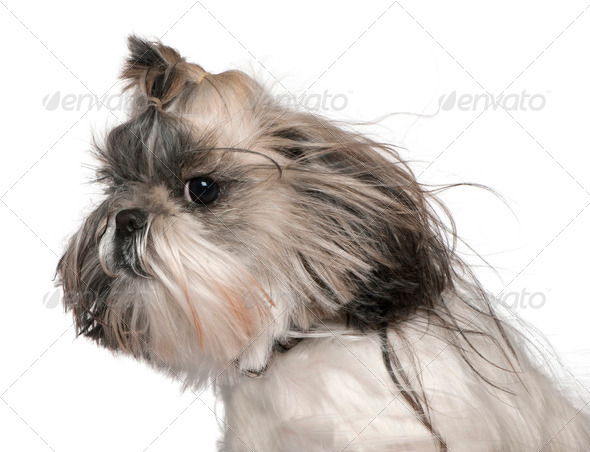 Close-up headshot of Shih tzu in the wind, 4 years old, in front of white background - Stock Photo - Images
