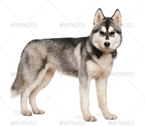 Siberian husky, 6 months old, standing in front of white background - Stock Photo - Images
