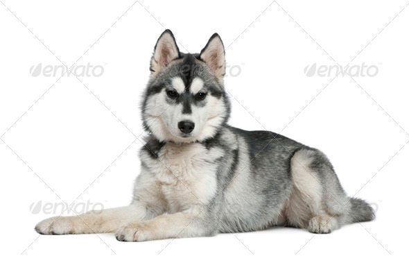 Siberian husky, 6 months old, lying in front of white background - Stock Photo - Images