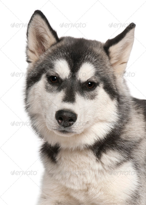 Close-up of Siberian husky, 6 months old, in front of white background - Stock Photo - Images