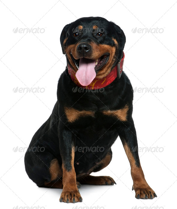 Rottweiler, 7 years old, sitting in front of white background - Stock Photo - Images