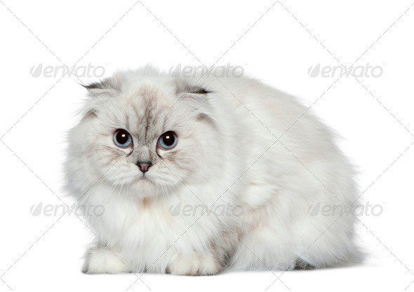 Highland fold cat, 11 months old, in front of white background - Stock Photo - Images