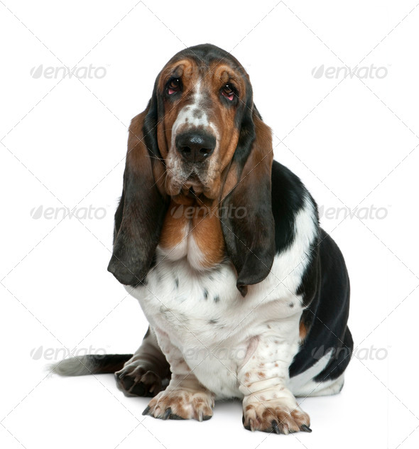 Basset hound, 2 years old, sitting in front of white background - Stock Photo - Images