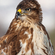 Vertical close-up portrait of a wild common buzzard in wintertime - PhotoDune Item for Sale