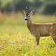 Curious roe deer grazing on the blooming colorful meadow full of wildflowers - PhotoDune Item for Sale