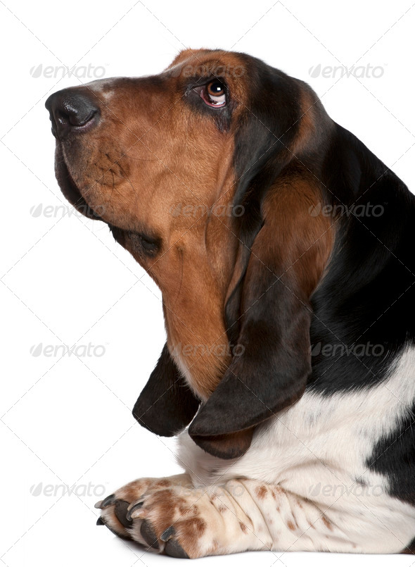 Close-up of Basset hound, 2 years old, in front of white background - Stock Photo - Images