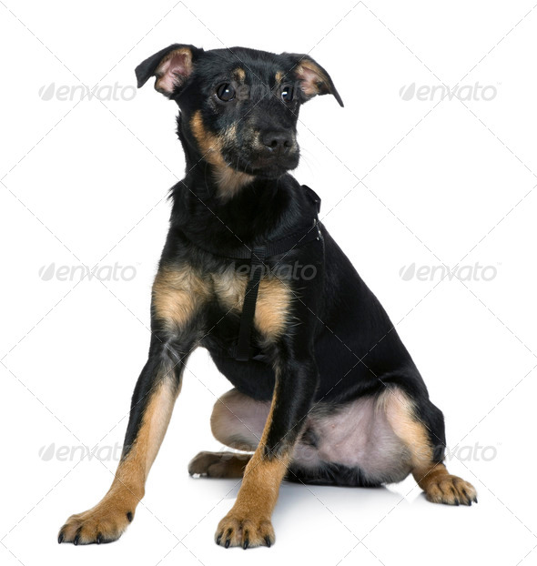 Mixed-breed dog, 4 months old, sitting in front of white background - Stock Photo - Images
