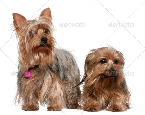 Two Yorkshire terriers, 3 and 6 years old, in front of white background - Stock Photo - Images