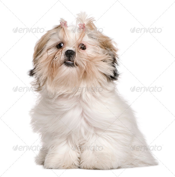Shih Tzu, 8 months old, sitting in front of white background - Stock Photo - Images
