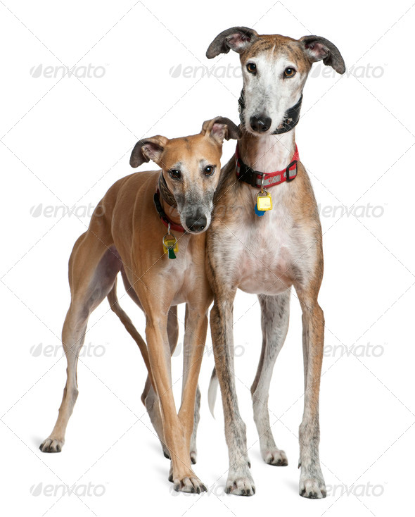 Two Galgo espanols, 3 and 6 years old, standing in front of white background - Stock Photo - Images