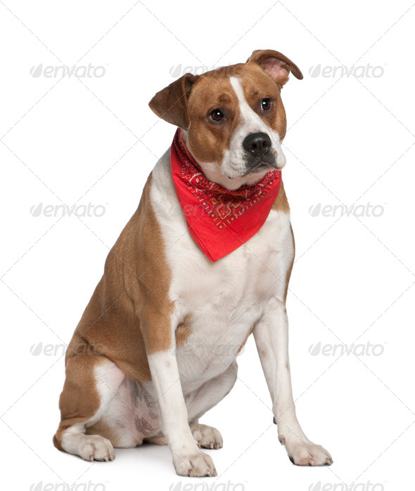 American Staffordshire terrier wearing handkerchief, 5 years old, in front of white background - Stock Photo - Images