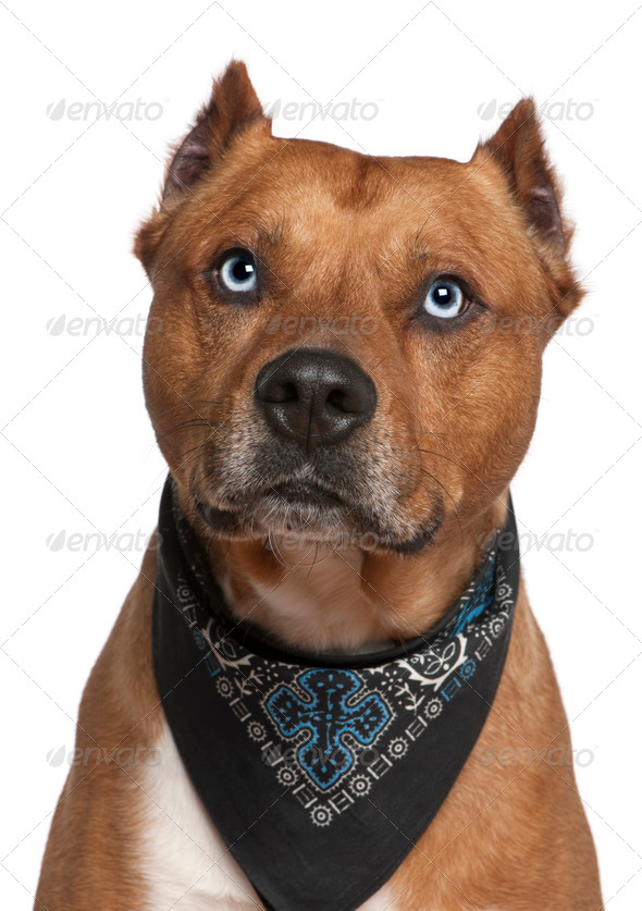 American Staffordshire terrier wearing handkerchief, 2 years old, in front of white background - Stock Photo - Images