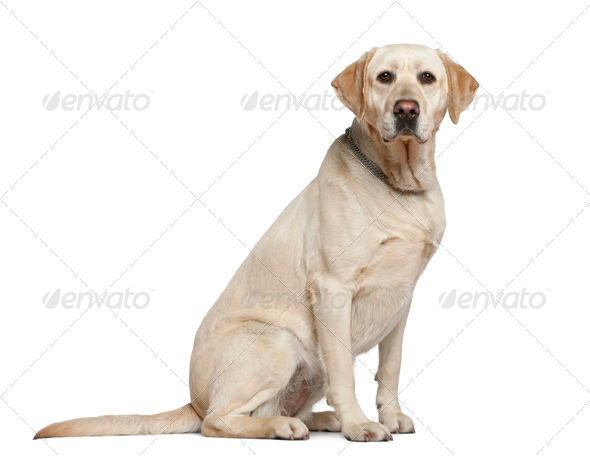 Labrador retriever, 3 years old, sitting in front of white background - Stock Photo - Images