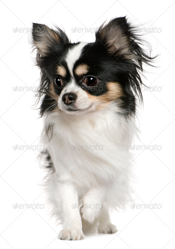 Chihuahua, 3 months old, in front of white background - Stock Photo - Images