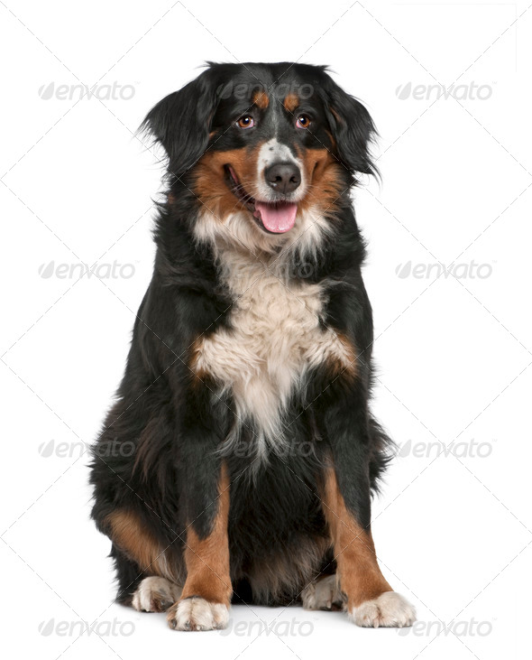 Bernese mountain dog, 4 years old, sitting in front of white background - Stock Photo - Images