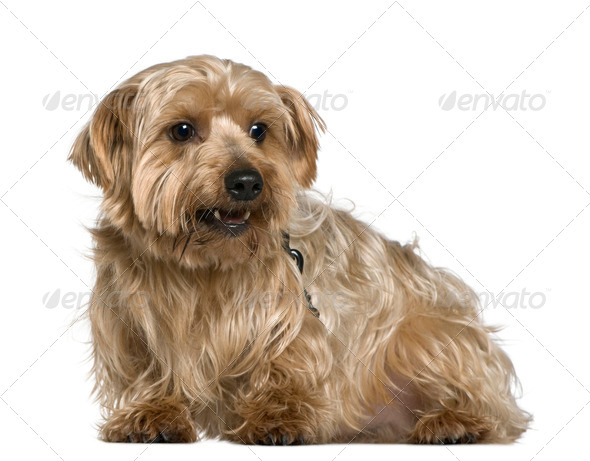 Yorkshire terrier, 4 years old, in front of white background - Stock Photo - Images