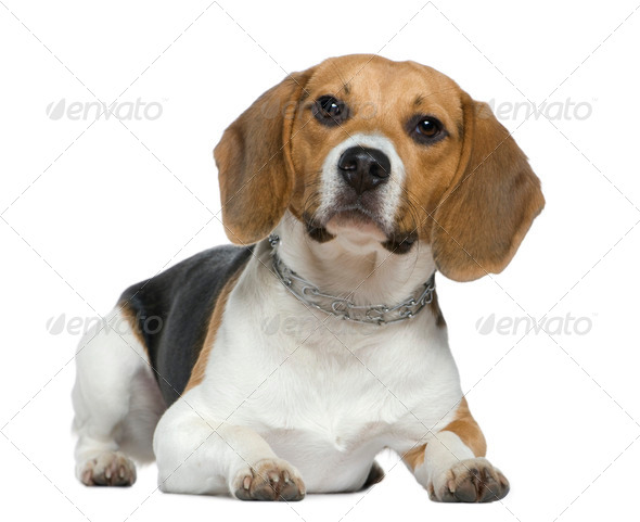 Beagle, 9 months old, lying in front of white background - Stock Photo - Images