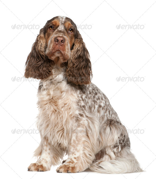English Cocker Spaniel, 30 months old, sitting in front of white background - Stock Photo - Images