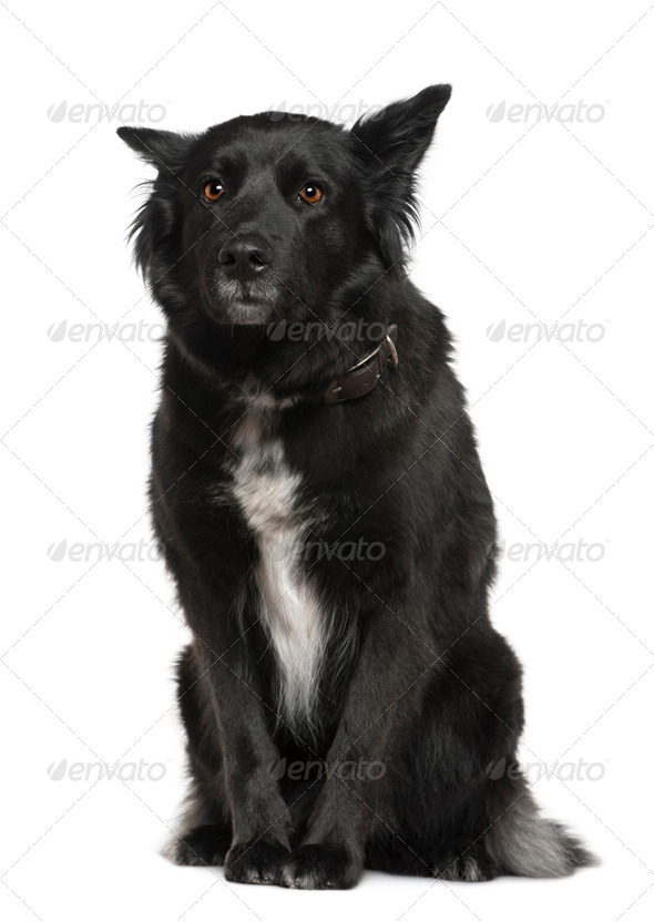 Belgian shepherd dog, Groenendael, 4 years old, sitting in front of white background - Stock Photo - Images