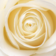 Beautiful fresh white rose - PhotoDune Item for Sale