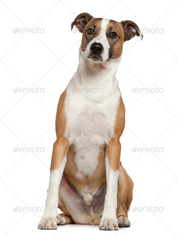 Levrier dog, 2 and a half years old, sitting in front of white background - Stock Photo - Images