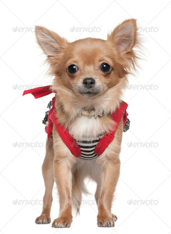 Chihuahua dressed up, 1 year old, standing in front of white background - Stock Photo - Images