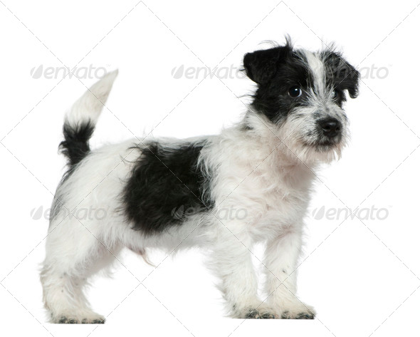 Jack Russell terrier puppy, 4 months old, standing in front of white background - Stock Photo - Images