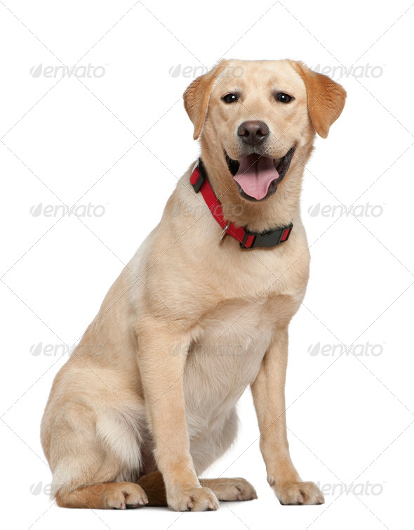 Labrador retriever, 11 months old, sitting in front of white background - Stock Photo - Images