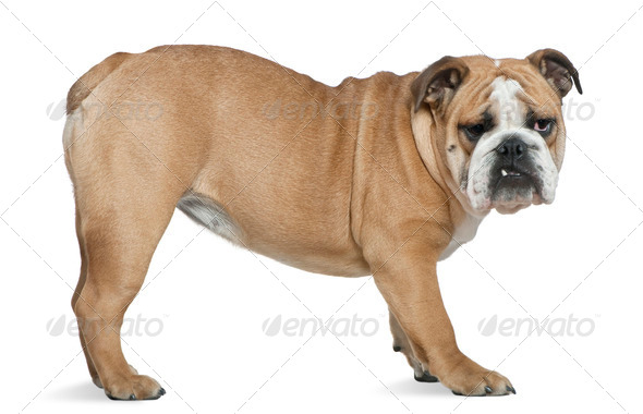 English bulldog, 6 months old, standing in front of white background - Stock Photo - Images