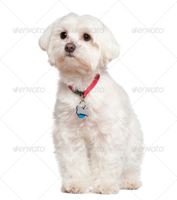 Maltese, 4 years old, in front of white background - Stock Photo - Images