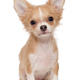 Small, beige color Chihuahua puppy - PhotoDune Item for Sale