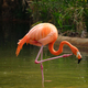 American flamingo Phoenicopterus ruber bird - PhotoDune Item for Sale