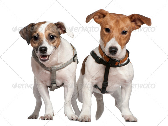 Portrait of two Jack Russell terriers, 2 years old, in front of white background - Stock Photo - Images