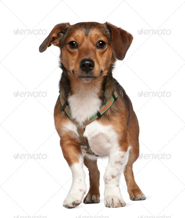 Portrait of crossbreed dog, 2 years old, standing in front of white background - Stock Photo - Images
