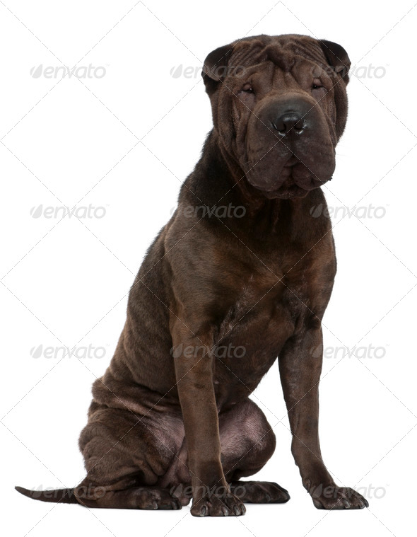 Shar Pei, 1 year old, sitting in front of white background - Stock Photo - Images