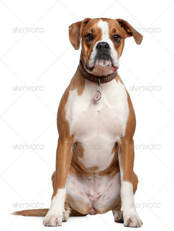 Portrait of Boxer, 14 years old, sitting in front of white background - Stock Photo - Images