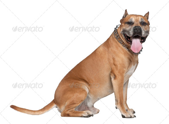 American Staffordshire terrier, 5 years old, looking at camera sitting in front of white background - Stock Photo - Images