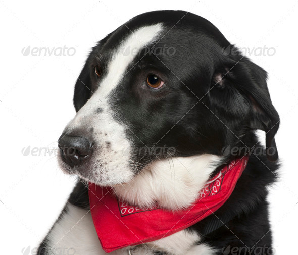 Close-up headshot of Crossbreed dog, 9 years old, in front of white background - Stock Photo - Images