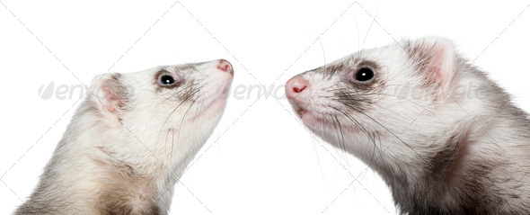 Two ferrets looking at each other, 1 year old, in front of white background - Stock Photo - Images