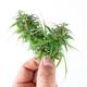 Hand holding fresh marijuana isolated on white background - PhotoDune Item for Sale
