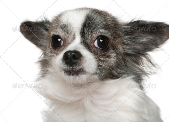 Close-up of Chihuahua, 15 months old, in front of white background - Stock Photo - Images