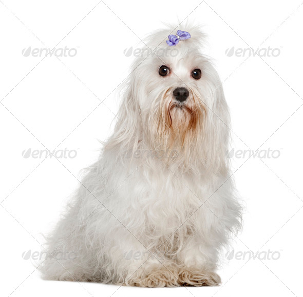 Maltese, 6 years old, sitting in front of white background - Stock Photo - Images