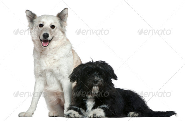 Mixed-breed dog and Shih-Tzu, 9 years old and 6 months old, in front of white background - Stock Photo - Images