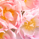 Beautiful Pink Peony Tulips. Spring Flowers. - PhotoDune Item for Sale