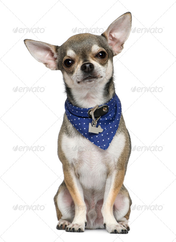Chihuahua wearing blue handkerchief, 3 years old, sitting in front of white background - Stock Photo - Images
