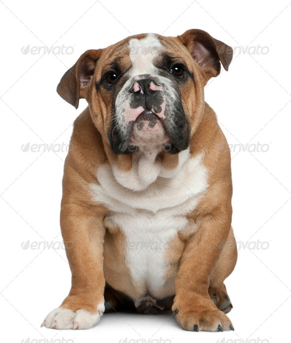 English bulldog puppy, 4 months old, sitting in front of white background - Stock Photo - Images