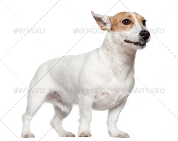Jack Russell Terrier, 2 years old, standing in front of white background - Stock Photo - Images