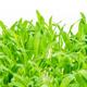 Brown millet microgreen, closeup, macro food photo - PhotoDune Item for Sale