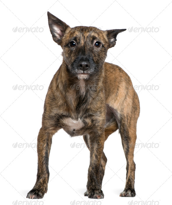 Mixed-breed dog, 16 months old, standing in front of white background - Stock Photo - Images